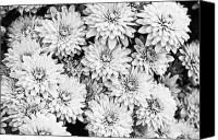 Kelly Canvas Prints - Garden Mums Canvas Print by Ryan Kelly