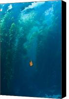 San Clemente Canvas Prints - Garibaldi Fish In Giant Kelp Underwater Canvas Print by James Forte