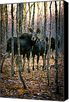 Moose Canvas Prints - Gathering of Moose Canvas Print by Bob Orsillo