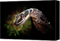 Lizard Canvas Prints - Gecko Canvas Print by Kristian Bell