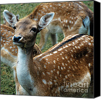 Roe Deer Canvas Prints - Gentle Deer Canvas Print by Heiko Koehrer-Wagner