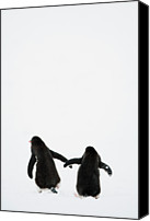 People Photo Canvas Prints - Gentoo Penguin (pygoscelis Papua) Canvas Print by Elliott Neep