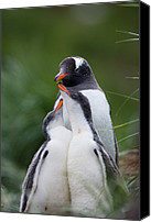 Animal Behaviour Canvas Prints - Gentoo Penguin Pygoscelis Papua Hungry Canvas Print by Suzi Eszterhas