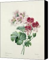 Botanical Engraving Canvas Prints - Geranium Variety Canvas Print by Pierre Joseph Redoute