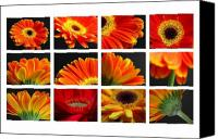 Gerber Canvas Prints - Gerber Daisy Greetings Canvas Print by Juergen Roth
