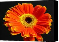 Gerber Canvas Prints - Gerber Daisy Portrait Canvas Print by Juergen Roth