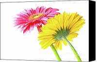 Pink Canvas Prints - Gerbera Flowers Canvas Print by Carlos Caetano