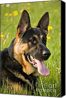 Handsome Canvas Prints - German Shepherd Canvas Print by Meirion Matthias