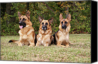 Alsatian Canvas Prints - German Shepherds - Family Portrait Canvas Print by Sandy Keeton