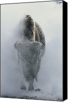 Bison Canvas Prints - Ghostly Bison In Steam During Winter Canvas Print by Norbert Rosing