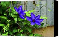 Star Barn Canvas Prints - Giant Blue Clematis Canvas Print by Douglas Barnett