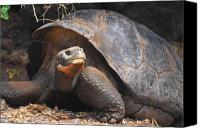 Galapagos Islands Canvas Prints - Giant Galapagos Tortoise Canvas Print by Alan Lenk