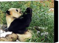 National Zoo Canvas Prints - Giant Panda 2 Washington National Zoo Canvas Print by Richard Singleton