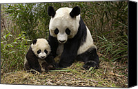 Baby Panda Canvas Prints - Giant Panda Ailuropoda Melanoleuca Canvas Print by Katherine Feng