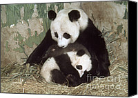 Baby Panda Canvas Prints - Giant Pandas Canvas Print by Nature Source