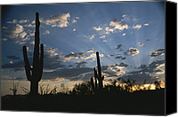 Cereus Canvas Prints - Giant Saguaro Cactus Silhouetted Canvas Print by Todd Gipstein