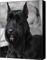 Dog Photo Canvas Prints - Giant Schnauzer Canvas Print by Jai Johnson