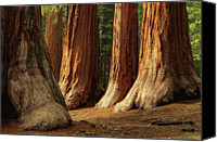 Tree Trunk Canvas Prints - Giant Sequoias, Yosemite National Park Canvas Print by Andrew C Mace