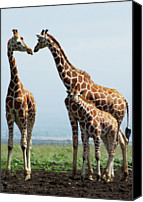 Animals In The Wild Canvas Prints - Giraffe Family Canvas Print by Sallyrango