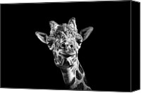 Animal Portrait Canvas Prints - Giraffe In Black And White Canvas Print by Malcolm MacGregor