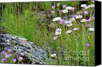 Aster Canvas Prints - Glacial Daisies  Canvas Print by Karon Melillo DeVega