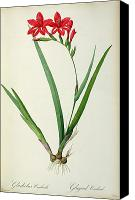 Botanical Engraving Canvas Prints - Gladiolus Cardinalis Canvas Print by Pierre Joseph Redoute