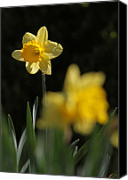 Spring Garden Art Canvas Prints - Glorious Daffodil Canvas Print by Juergen Roth