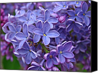 Fine Arts Photography Canvas Prints - Glorious Lilac Bloom Canvas Print by Juergen Roth