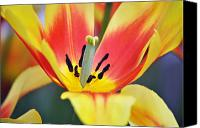 Tulip Canvas Prints - Glorious Tulip Monsella Close Up Canvas Print by Debra  Miller