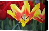 Tulip Canvas Prints - Glorious Tulip Monsella Canvas Print by Debra  Miller