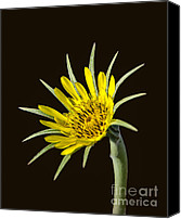 Sap Canvas Prints - Goatsbeard Canvas Print by Robert Bales