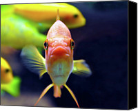 Goldfish Canvas Prints - Gold Fish Canvas Print by Violet Kashi Photography