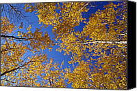 Vermont Autumn Foliage Canvas Prints - Gold on Blue- Autumn Aspens Canvas Print by Thomas Schoeller