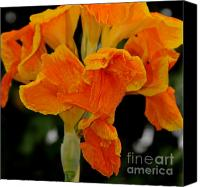 Canna Canvas Prints - Golden Canna Canvas Print by Patrick  Short