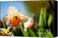 Dafs Photographs Canvas Prints - Golden Daffodils  Canvas Print by Venura Herath