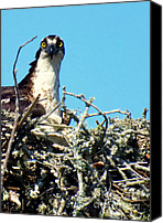 Osprey Canvas Prints - Golden Eyes Canvas Print by Karen Wiles