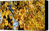 Leaf Pile Photo Canvas Prints - Golden leaves Canvas Print by Carol Lynch