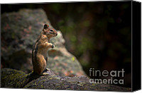 North Canvas Prints - Golden Mantled Ground Squirrel Rocky Mountains Colorado Canvas Print by Christine Till