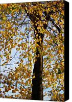 Leaf Pile Photo Canvas Prints - Golden tree Canvas Print by Carol Lynch