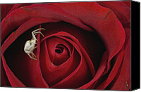 Flowers   Spider Canvas Prints - Goldenrod Crab Spider Misumena Vatia Canvas Print by Michael Quinton
