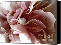 Print Special Promotions - Goldenrod Crab Spider Canvas Print by Stephanie Wenzl