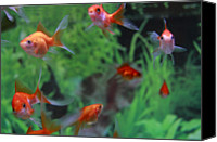 Goldfish Canvas Prints - Goldfish Canvas Print by Kakki**