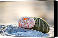 Urchin Canvas Prints - Gone Shelling Canvas Print by Melanie Moraga