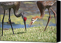 Bird Family Canvas Prints - Good Catch Canvas Print by Carol Groenen