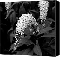 Gooseneck Loosestrife Canvas Prints - Gooseneck Loosestrife Canvas Print by Michael Friedman