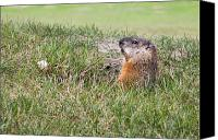 Groundhog Canvas Prints - Gopher Canvas Print by Michel Soucy