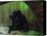 National Zoo Canvas Prints - Gorrilla in Washington D.C. National Zoo Canvas Print by Richard Singleton