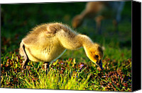 Little Birds Canvas Prints - Gosling In Spring Canvas Print by Mingqi Ge