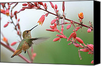 Annas Hummingbird Canvas Prints - Grace In Motion Canvas Print by Fraida Gutovich