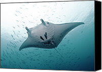 Animal Photo Canvas Prints - Graceful Manta Canvas Print by Wendy A. Capili
